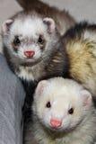 Cuddly ferrets Royalty Free Stock Photos