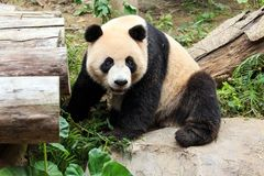 The cuddly giant panda Royalty Free Stock Photos