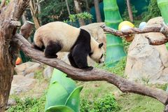 The cuddly giant panda Royalty Free Stock Photography