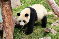 The cuddly giant panda Stock Image