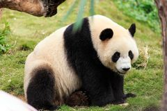 The cuddly giant panda Stock Photos