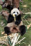 The cuddly giant panda Royalty Free Stock Photo