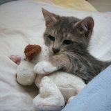 Cuddly kitten. A kitten cuddling a stuffed animal royalty free stock photos