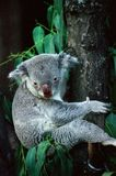 Cuddly Koala Climbing a Tree Royalty Free Stock Images