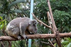 Cuddly Koalas. In Currimbin WIldlife Sanctuary,Goldcoast Royalty Free Stock Photos