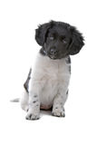 Cuddly Stabyhoun puppy Royalty Free Stock Images