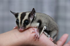 Cuddly sugar glider. Picture of a cuddly sugar glider on a boy's hand. Sugar glider (scientific name: petaurus breviceps), is a small gliding possum from the Royalty Free Stock Images