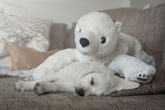 Cuddly toy polar bear and white labrador dog puppy Royalty Free Stock Photo