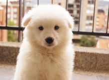 Cuddly white Puppy samoyed Stock Photo
