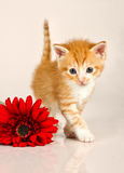 Cudly kitten walking away from red flower Stock Image