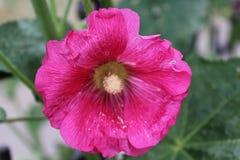 Cudowna menchia kwitnie kwitnie w lecie Zdjęcia Stock