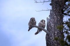 Cudowna para małżeńska Para zakazywać sowy na suchym drzewie w tajdze Fotografia Royalty Free