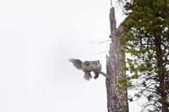 Cudowna para małżeńska Para zakazywać sowy na suchym drzewie w tajdze Obrazy Stock