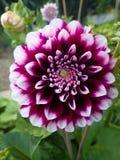 Cudowna purpurowa dalia w mój ogródzie Obrazy Royalty Free