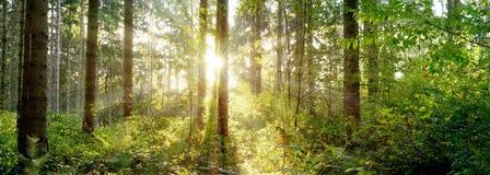 Cudowna scena w lesie w ?wietle ranku s?o?ca obraz royalty free
