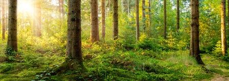 Cudowna scena w lesie w ?wietle ranku s?o?ca zdjęcia royalty free