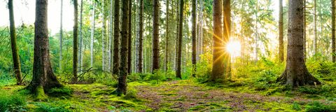 Cudowna scena w lesie z ranku s?o?cem obraz royalty free