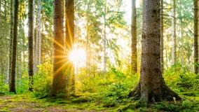 Cudowna scena w lesie z ranku s?o?cem zdjęcie royalty free