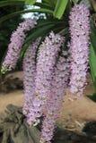 cudowne orchidee Zdjęcia Royalty Free