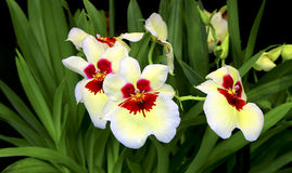 cudowne orchidee Obrazy Stock