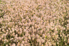 Cudowni Puszyści kwiaty Zdjęcie Stock