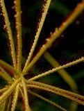 Cudowny krajobraz wroniej stopy trawa kwitnie z zielonym tłem Obrazy Royalty Free