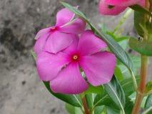 cudowny menchia kwiat Fotografia Royalty Free
