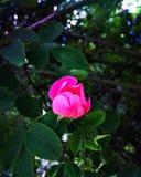 Cudowny różowy dziki wzrastał Zdjęcie Royalty Free