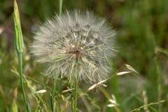 Cudowny zielarski Dandelion Taraxacum Przeciw tłu zielona trawa Zdjęcia Stock