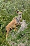 Cudu, талисман должностного лица национального парка Kruger стоковые фотографии rf