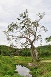 Cudu bagażnika drzewo Obraz Stock