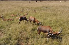 Cudu in Südafrika Lizenzfreies Stockbild