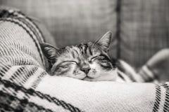 Cue cat sleeping on blanket Stock Image