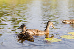 Cue ducks, mallard, Anas platyrhynchos, swimming in lake sunny d Stock Images
