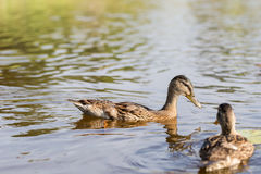 Cue ducks, mallard, Anas platyrhynchos, swimming in lake sunny d. Ay. Low angle water level portraits, horizontal crop Stock Photo