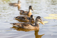 Cue ducks, mallard, Anas platyrhynchos, swimming in lake sunny d Stock Photography