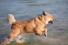 Cue Elo puppy runs in the sea water Royalty Free Stock Photo