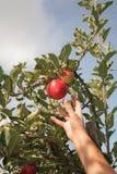 Cueillette d'Apple Photos libres de droits