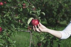 Cueillette d'Apple Photographie stock libre de droits
