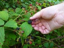 Cueillette de Blackberry dans le sauvage Images stock