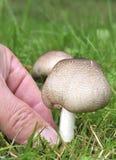 Cueillette de champignon de couche Photo libre de droits