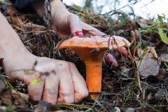 Cueillette de champignon de couche Image stock