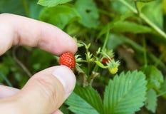 Cueillette de fraise Photographie stock libre de droits