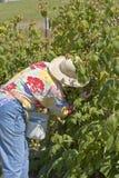Cueillette de framboise à une ferme rurale Photographie stock libre de droits