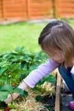 Cueillette de fruit Photo libre de droits