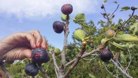 Cueillette de main des figues mûres Photographie stock