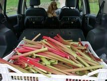 Cueillette de rhubarbe photo stock