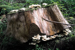 Cueillette et forager de champignon Photos libres de droits