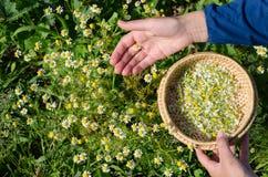 Cueillez à la main les fleurs de fines herbes de fleur de camomille pour bomber photos stock