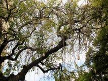 Cuelgue (la fruta del árbol de la salchicha) Imagen de archivo